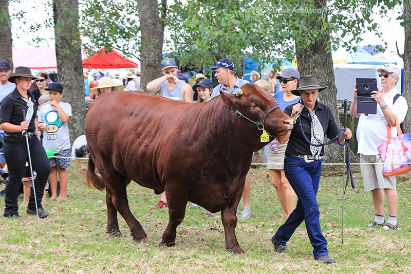 Bull competition