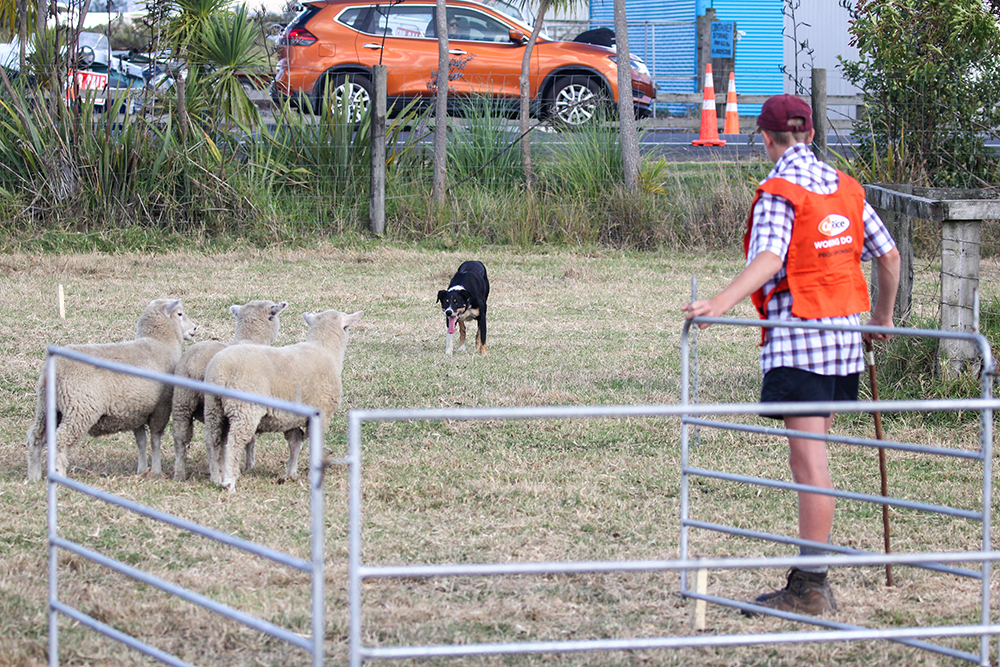 Sheep dog trials at the 2021 Helensville Show