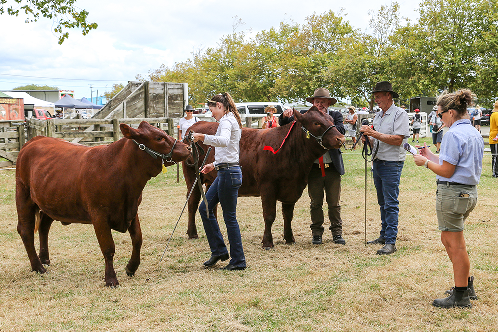 Cattle receiving ribbons at the 2021 Helensville Show